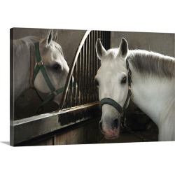 Large Solid-Faced Canvas Print Wall Art Print 30 x 20 entitled Slovenia, Kras plateau, Lipica Stud Farm, white horses in t...