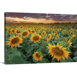 Large Solid-Faced Canvas Print Wall Art Print 30 x 20 entitled A beautiful sunflower field with mountains in the backgroun...