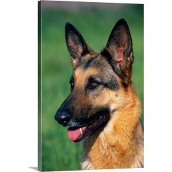 Large Solid-Faced Canvas Print Wall Art Print 20 x 30 entitled German shepherd out on the field found on Bargain Bro India from Great Big Canvas - Dynamic for $169.99