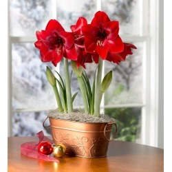 Dynamite Amaryllis Bulb Garden with Support Stakes found on Bargain Bro Philippines from Plow & Hearth for $34.95