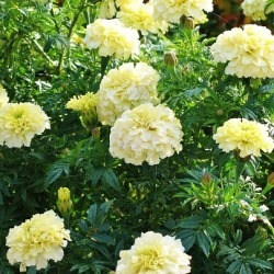 African Marigold Seeds - Moonlight, Summer/Large Yellow Flowers, Eden Brothers