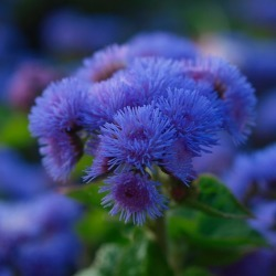 Ageratum Seeds - Dondo Blue, Blue, Flower Seeds, Eden Brothers