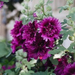 Hollyhock Seeds (Dwarf) - Queeny Purple, Spring and Summer/Purple Blooms, Flower Seeds, Eden Brothers