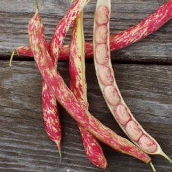 Bean Seeds (Bush) - Tongue of Fire, Vegetable Seeds, Eden Brothers