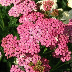Yarrow Seeds - Cerise Queen, Blooms In Shades Of Pink and Carmine, Flower Seeds, Eden Brothers found on Bargain Bro Philippines from Eden Brothers Seed Company for $3.95