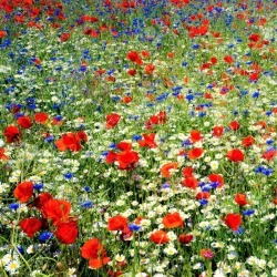 Field of Dreams - Red, White Blue Flower Seed Mix, Mixed, Eden Brothers