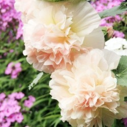 Hollyhock Seeds - Majorette Double Champagne, Spring and Summer/Pale/Blush Pink Blooms, Flower Seeds, Eden Brothers