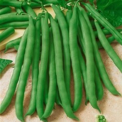 Bean Seeds (Bush) - Commodore Improved, Vegetable Seeds, Eden Brothers