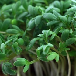 Cress Seeds - Curled, Vegetable Seeds, Eden Brothers