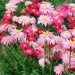 Painted Daisy Seeds - Robinsons Giant Mix, Summer/Red/Pink and White Blooms, Flower Seeds, Eden Brothers