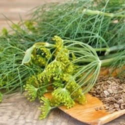 Dill Seeds - Dukat, Herb Seeds, Eden Brothers