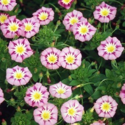 Morning Glory Seeds (Dwarf) - Rose Ensign, Spring and Summer/Tricolor Flowers In Pink/White and Yellow, Eden Brothers