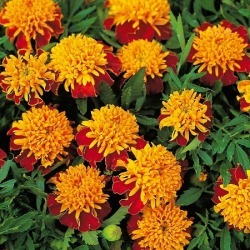 French Marigold (Double) Seeds - Tiger Eyes, Bi-Colored Orange/Yellow Flowers, Eden Brothers found on Bargain Bro Philippines from Eden Brothers Seed Company for $3.50