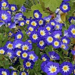 Morning Glory Seeds (Dwarf) - Royal Ensign, Spring and Summer/Tricolor Flowers In Blue/White and Yellow, Eden Brothers