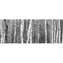 Grove Of Birch Trees And Dry Grass In Early Autumn, Fall Panorama Wallpaper Mural by Limitless Walls | Standard Canvas Fabric |