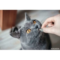 Hand British Cat Food Eat, Close Up, Cat With Yellow Eyes Asks For Food, Hand With Food Wallpaper Mural by Limitless Walls | Sta