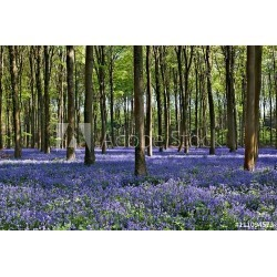 """Bluebells In Wepham Woods Wallpaper Mural by Limitless Walls 