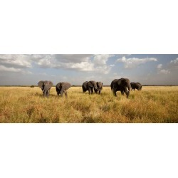 Elephant Herd On The Move: Walking Toward The Camera Wallpaper Mural by Limitless Walls | Standard Canvas Fabric | Small 5'5�