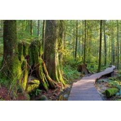 Hiking Trail Through Forest In Lynn Canyon Park Vancouver Bc Canada Wallpaper Mural by Limitless Walls | Standard Canvas Fabric