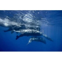 Underwater Adventures With Whales In Atlantic Ocean Water Blue Environmental Marine Background With Seven Spermwhales Traveling